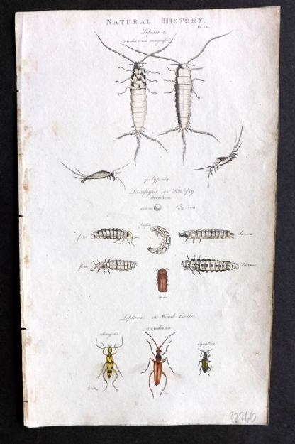 Brown 1816 Hand Col Print. Lepisma, Leptura Insects